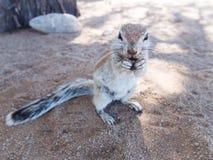 ziemi afrykańska wiewiórka Zdjęcia Stock