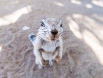 ziemi afrykańska wiewiórka Zdjęcie Royalty Free