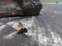 Ziemia, ty tam? Nieżywa pszczoła Fotografia Stock