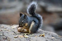 ziemia wiewiórka mantled złota Zdjęcia Royalty Free