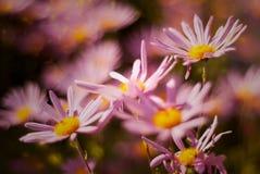 Ziemie lato menchii chrysanthellum fotografia stock