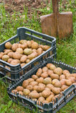 ziemniak Zdjęcia Royalty Free