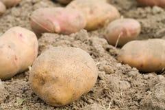 ziemniaki Obrazy Royalty Free