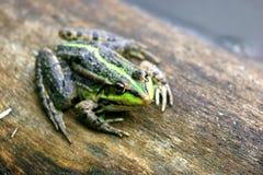 ziemnowodna żaba Obrazy Stock