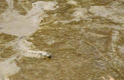 Ziemnowodna ryba Zdjęcie Royalty Free