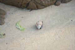 Ziemny eremity krab, Coenobita purpureus Stimpson--narodowo ochraniający gatunki na Tomori plaży przy Amam, obraz royalty free