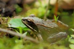 Ziemska żaba Obraz Royalty Free