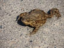 Ziemska żaba Zdjęcia Royalty Free