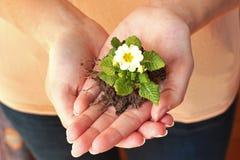 Ziemski dzień: mały pierwiosnek w palmach ręka Zdjęcia Stock