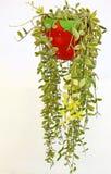 Zierpflanze Daves Stockfotos