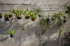 Zierpflanze gewachsen in einem hängenden Topf neben der alten Betonmauer Lizenzfreies Stockbild