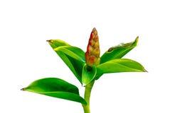 Zierpflanze lokalisiert Lizenzfreie Stockbilder