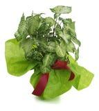 Zierpflanze singonio Lizenzfreies Stockbild