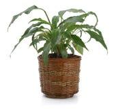 Zierpflanze Spathiphyllum Lizenzfreie Stockfotografie