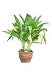 Zierpflanzeisolat stockbilder