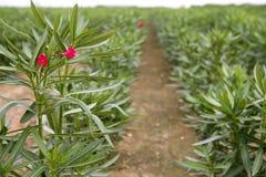 Zierpflanzelandwirtschaft des Oleanders Lizenzfreie Stockfotografie