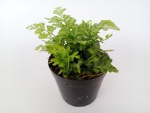 Zierpflanzen Lizenzfreie Stockfotografie