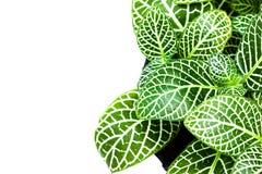 Zierpflanzen des schönen gestreiften Blattes schließen oben auf weißem Hintergrund Stockbilder