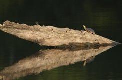 Zierschildkröte, die auf einem Klotz sich sonnt Stockbild