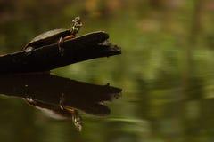 Zierschildkröte-Gegähne-Reflexion Lizenzfreies Stockbild