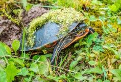 Zierschildkröte im Green Bay, Wisconsin stockbilder