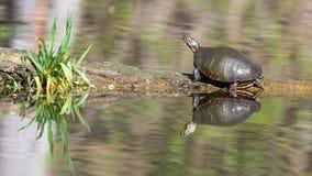 Zierschildkröten auf Klotz Stockbilder