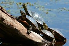 Zierschildkröten, die auf einem Klotz sich sonnen Lizenzfreie Stockbilder
