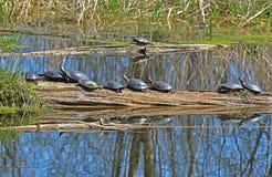 Zierschildkröten, die auf einem Klotz sich sonnen Stockfotos