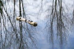 Zierschildkröten, die auf Logon die Mitte von einem Teich sich sonnen stockfoto