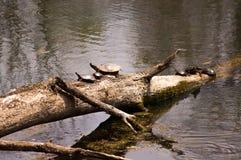 Zierschildkrötesonnen Lizenzfreies Stockfoto