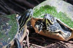 Zierschildkröte in den wild lebenden Tieren in der Weichzeichnung Lizenzfreie Stockfotos