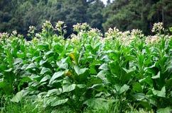Ziertabak-Anlagen in der Blüte Stockfotos