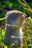 Ziesel, der Samen vom Gras isst lizenzfreie stockfotografie