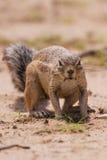 Ziesel, der Völker im heißen Kalahari isst Stockbild