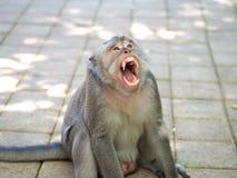Ziewająca Śliczna Gruba makak małpa w Uluwatu, Bali, Indonezja Fotografia Royalty Free