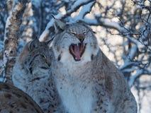 Ziewający Śnieżny Lnyx fotografia royalty free