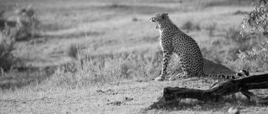 Ziewający gepard obrazy stock