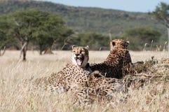 Ziewający gepard Fotografia Stock