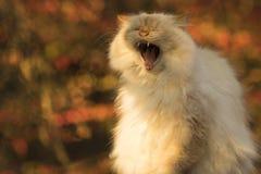 Ziewający słyszący kot w jesieni Obraz Royalty Free