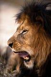 Ziewający lew Obrazy Royalty Free