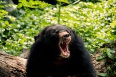 Ziewający niedźwiedź w słonecznym dniu fotografia royalty free