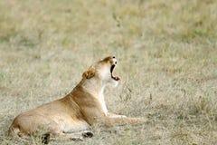 Ziewająca lwica Obrazy Royalty Free