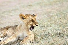 Ziewający dziecko lew Zdjęcie Stock