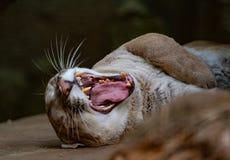 Ziewający kuguara portret Zdjęcia Stock