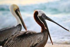 Ziewający pelikan Obraz Stock