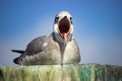 Ziewający Seagull Obrazy Stock