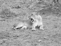 ziewanie lwicy Fotografia Royalty Free