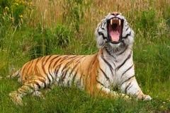 ziewanie tygrysi ziewanie Obraz Stock