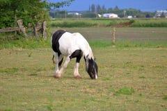 Zigensk majskolvhäst i lantlig betesmark Royaltyfri Fotografi