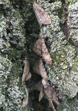 Zigenska malar som lägger ägg Royaltyfri Bild